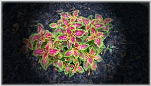 Japanese Coleus Number Two by slowdog294