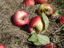 Apples on Ground by racehorse87-stock