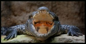 crocodile: I am sooo hungry by morho