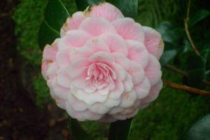 pink  pastell filled camellia by ingeline-art