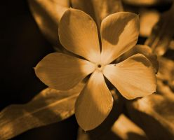 Sepia flower by a6-k