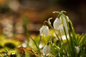 Snowdrops set 11 by paradoxofminds
