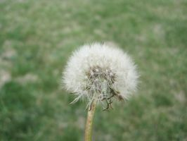Another dandelion. by Aikoloid