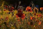 Poppies by polska