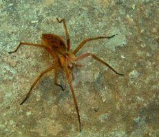 Wolf Spider by Faunamelitensis