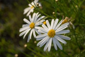 Untitled daisy by Gofion