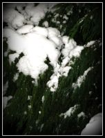 snow On Tree3 by roxyms