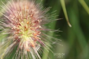 pilose flower - the last by GreenSlOw
