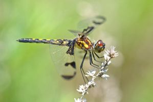 Female Calico Pennant by wreckingball34