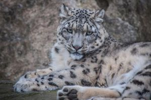 Snowleopard, KA XII by FGW-Photography