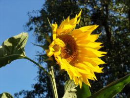 A sunflower by rimis