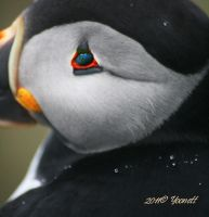 Tear drops of a Puffin by Yoonett