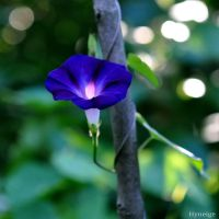 Volubilis Blue Velvet I by hyneige