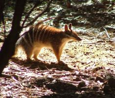 NUMBAT by AdamsWife