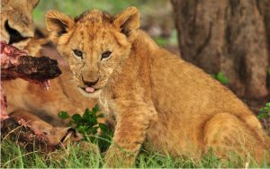 Hungry Lion cub by NagWolf
