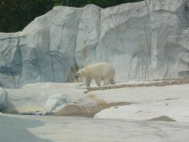 Polar Bear Stock 4 by ArrsistableStock