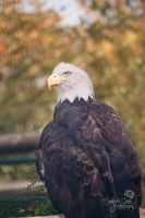 Bald Eagle by CandiceSmithPhoto