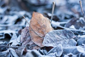 Frozen leaves by IgorKlajo