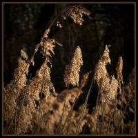 Winter Grasses by grimleyfiendish