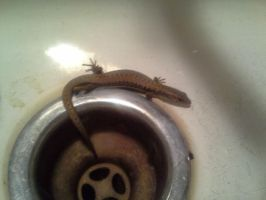 Skink in the Sink by queegqueg
