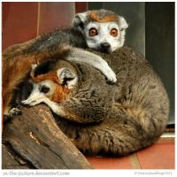 White Collared Lemurs by In-the-picture