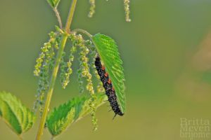 One Caterpillar by brijome