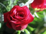 red ROSE by Egil21