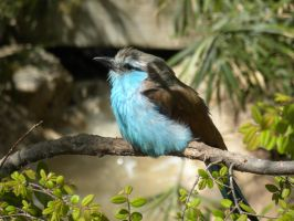 Racket-tailed Roller by photosammich