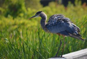 Blue Heron by LizLoz