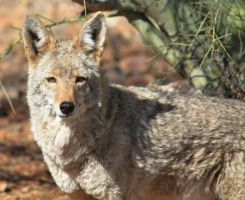 Coyote 3459 by mammothhunter