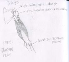 Muscles -  Triceps - Origins Insertions and Nerve by Mismatching-Socks