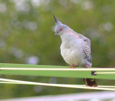 Crested Pigeon 2 by Tamamantix