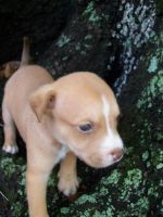 pitbull pup 3 by selbbub13