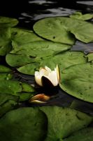Water lilies by FreakLoveCM