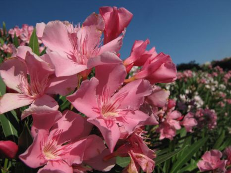 Oleander by Maltese-Naturalist