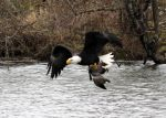 Eagle and Goose one by lauph-1t-up