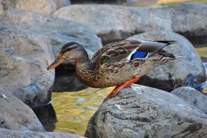Duck 2 by AzureWindProductions