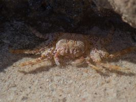 Crab 1 by dottys-friend