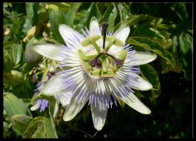 Passion Flower by Phehliks