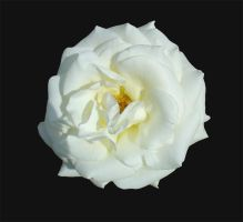 White rose by Harlequitmix
