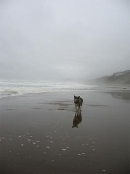 Wolf Dog on Beach by PaperStreet-stock