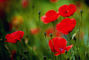 Red Poppies by RFranck