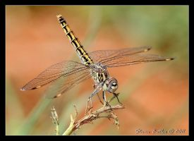 Dragonfly by lasfe2g