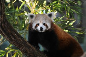 Red Panda 3 by Mkatpro11