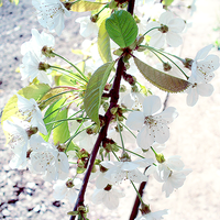 Cherry flowers 2 by Whatsername777