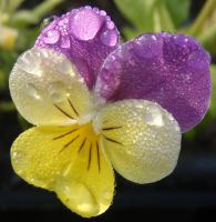 Pansy Macro by teenyb