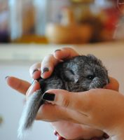 chinchilla by freedom-peace-love