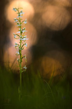 Platanthera Chlorantha by mescamesh