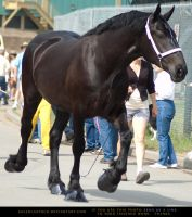 Percheron 1 by SalsolaStock