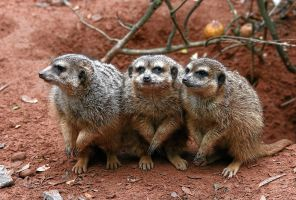 Huddled Meerkats 3258144 by StockProject1